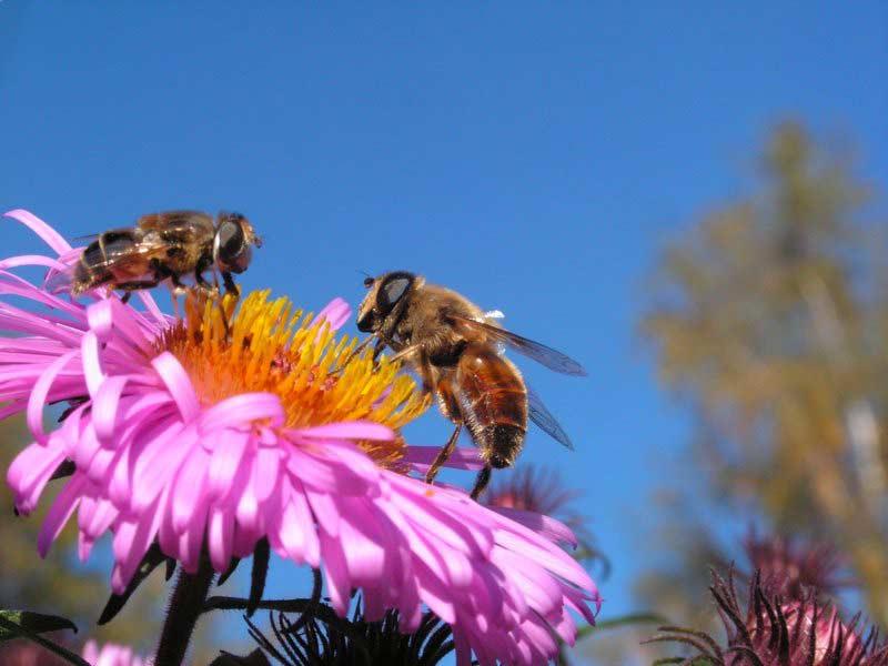 439Фото пчела цветок